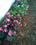 impatiens-and-begonias-sm