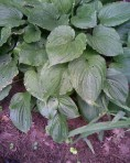 large-green-hosta-sm