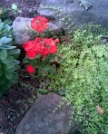 red-geranium-and-sedum-over-rocks-sm