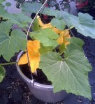 yellow-squash-plant