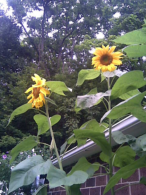 my-sunflowers