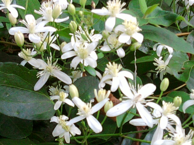 sweet-autumn-clematis