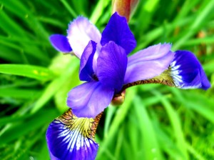 beutiful-purple-iris