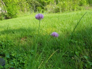 chives-purple-blooms