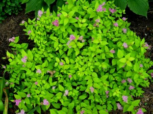 pink-blooming-spirea-light-green