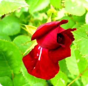 single-red-rosebud