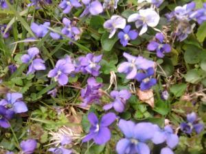 wild-violets
