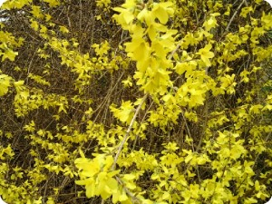 forsythia-close-up