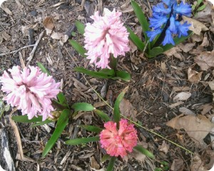 Hyacinths Are Blooming