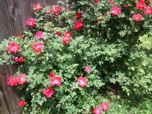 rose-knockout-may-2013