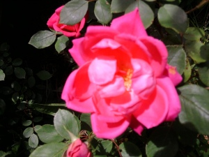 rose-pink-closeup