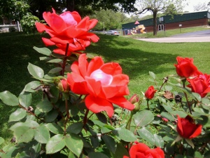 rose-red-knockout-may-2013-close