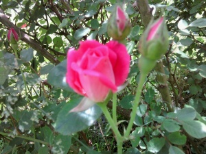 rosebud-pink