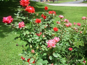 roses-red-pink-knockout-may-2013