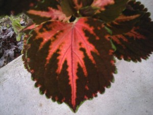 Heart leaf-coleus