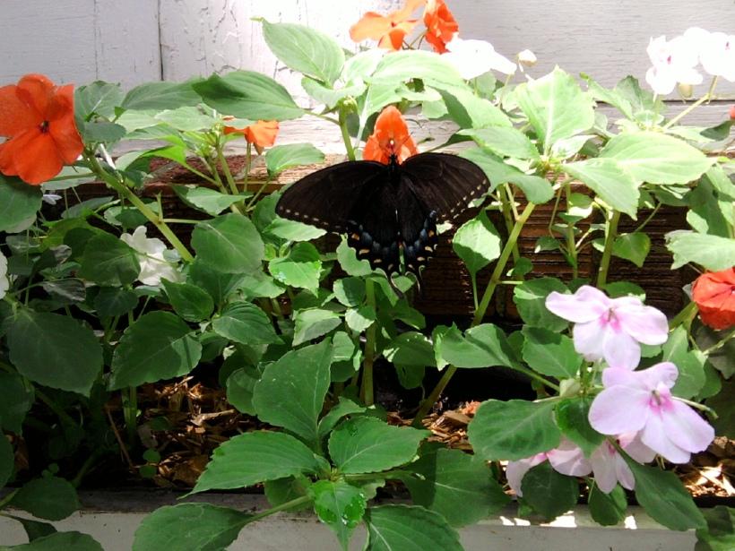 Butterfly-swallowtail