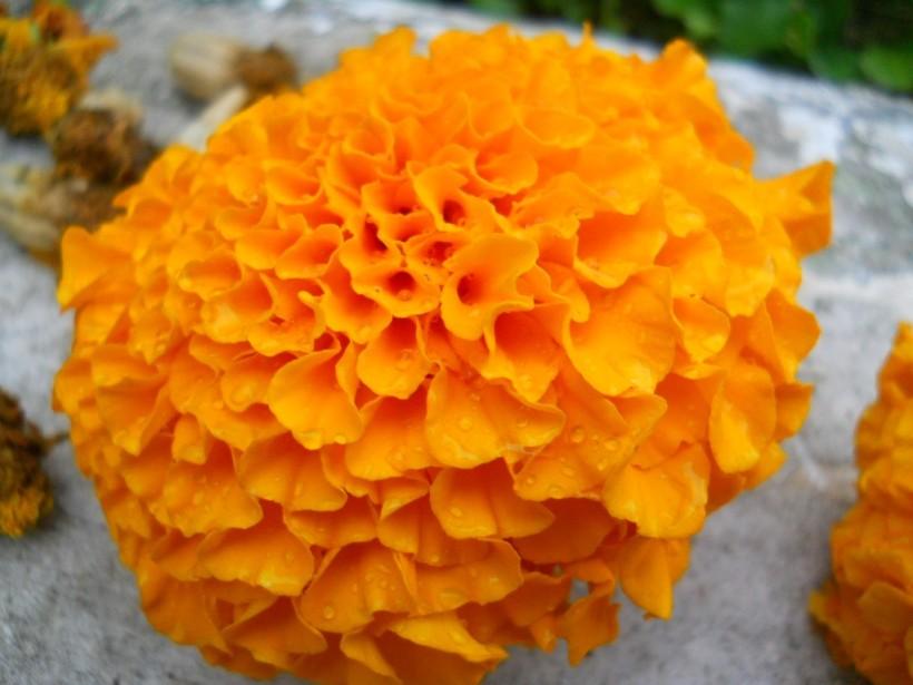 Large Marigold