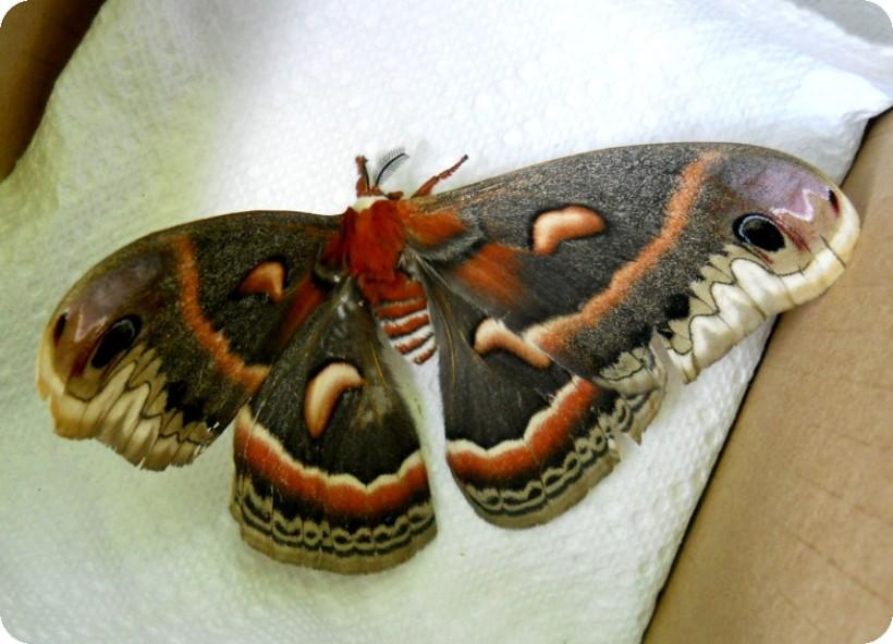 giant moth -2-sm
