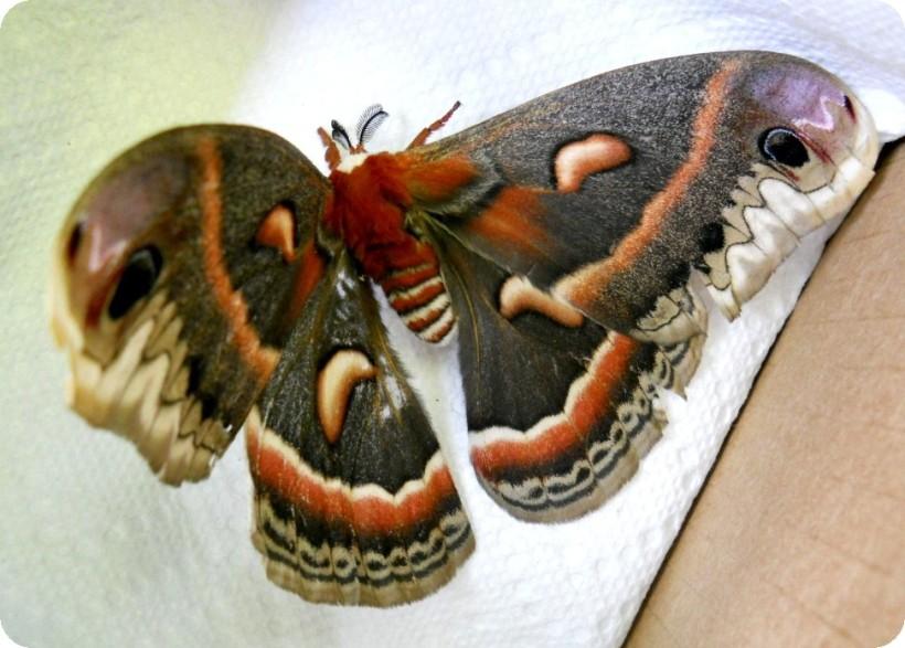 giant moth-sm