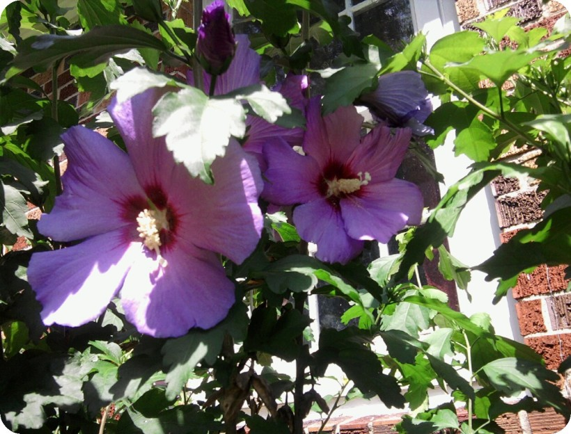 rose of sharon purple-2