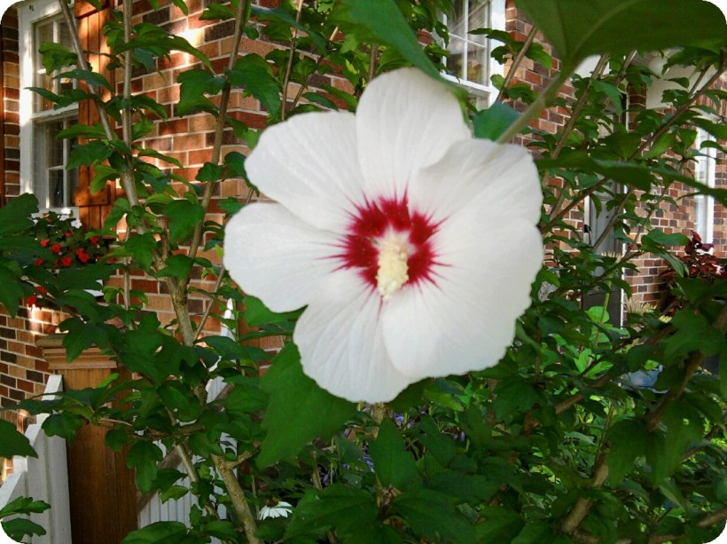 Rose of Sharon-white