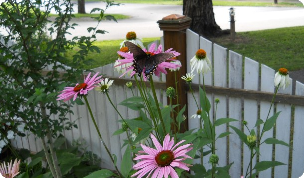 Swallowtail Butterfly on Pink Coneflower