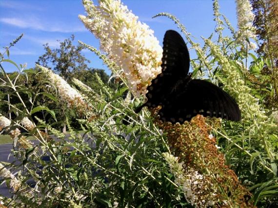 black butterfly-white butterfly bush