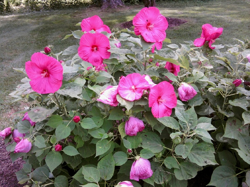 pink hardy hibiscus