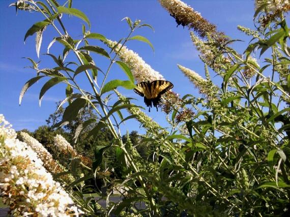 yellow swallotail on white butterfly bush