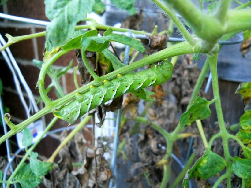 tomato horn worm