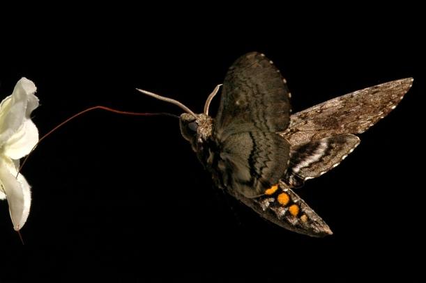 Manduca_sexta - Moth