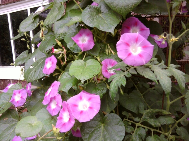 pink morning glory vine