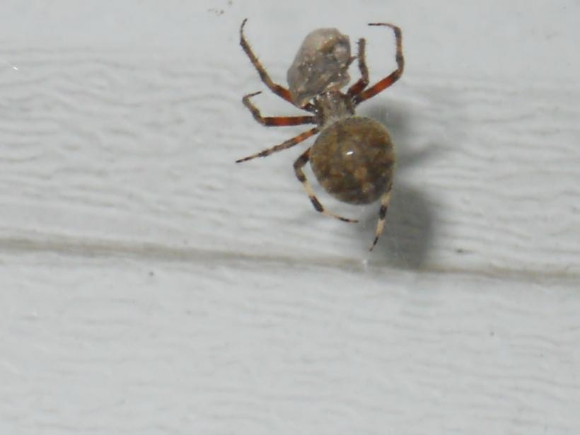 Halloween Spider 006