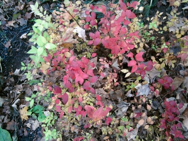 Autumn-spirea