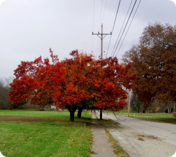 autumn tree-2013-red