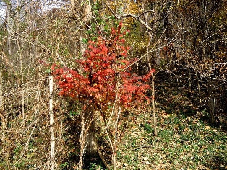 autumn tree-red