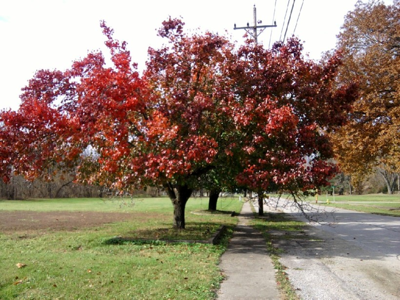 autumn trees-red-2
