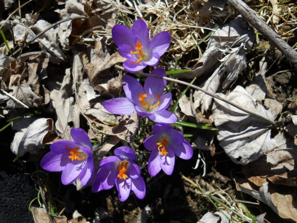 Crocus Booms