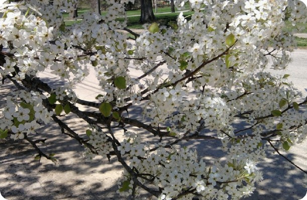 blooming apple