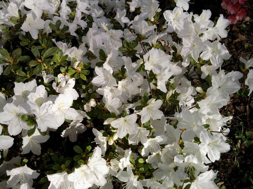 azaleas-white-2