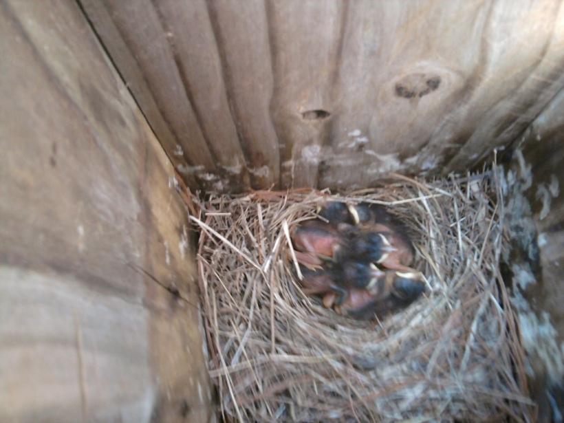 Bluebird Babies-1 Week