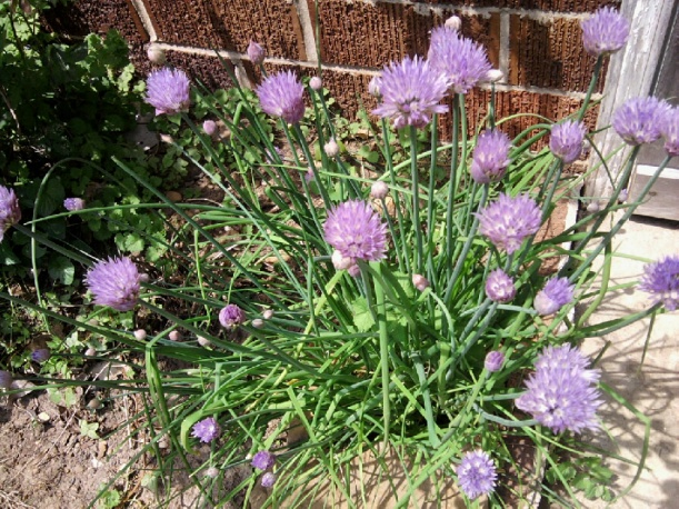 Chives-Garlic Variety