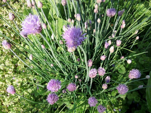 Chives-Onion Variety