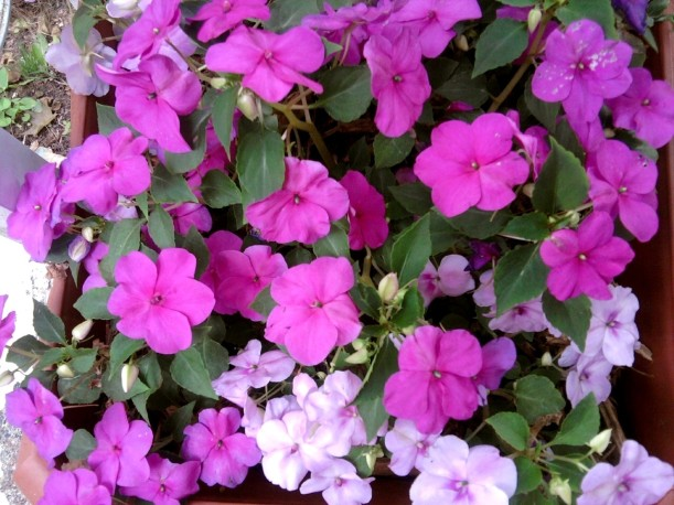 impatiens-purple