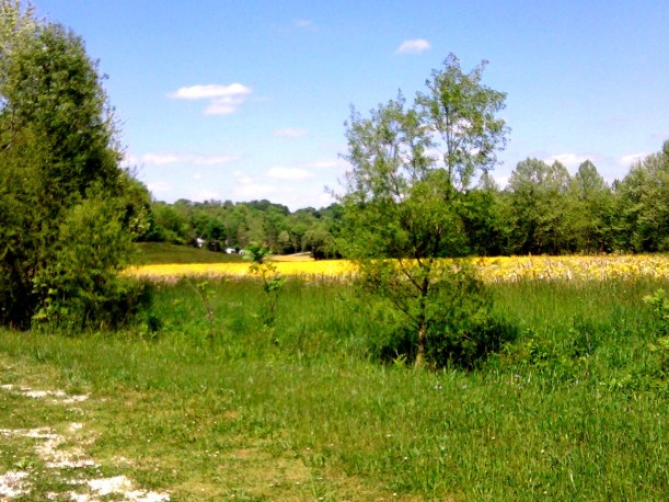 landscape yellow field-2