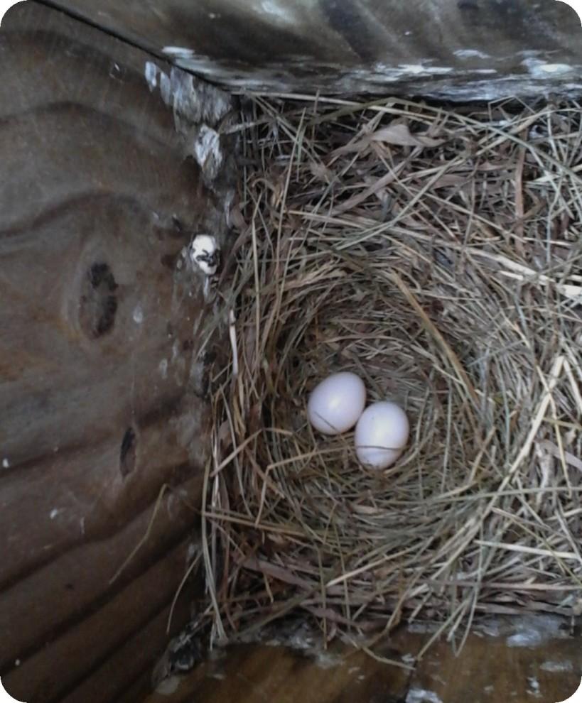 Pink Bluebird Eggs