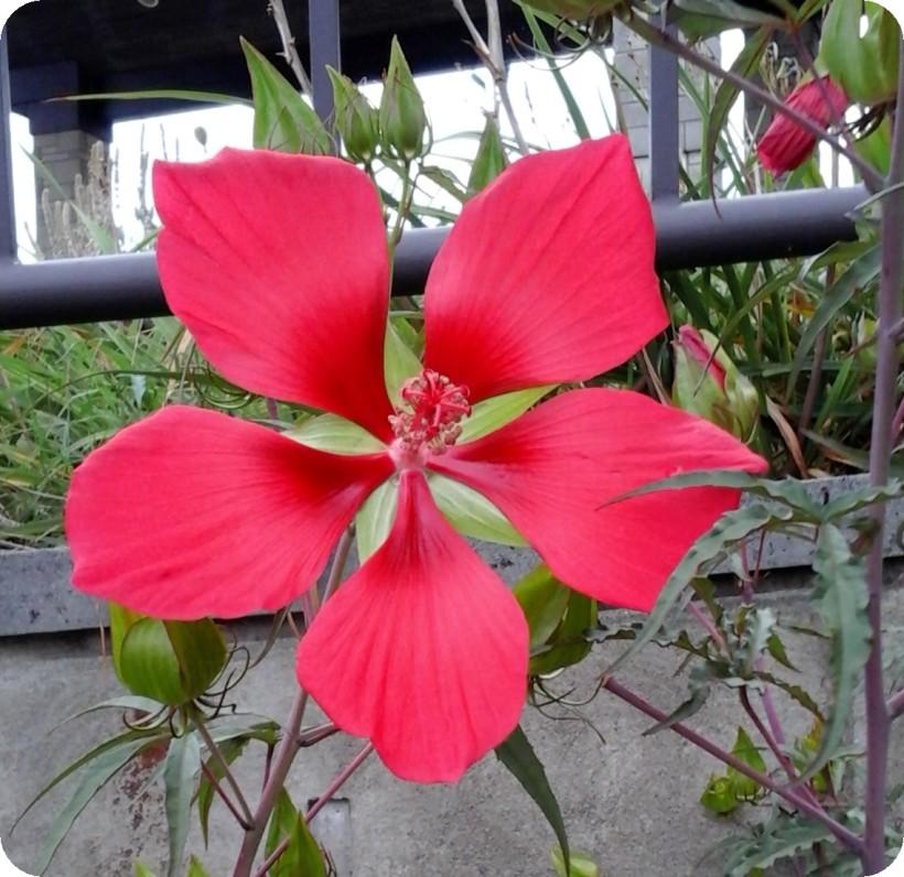 red flower-2