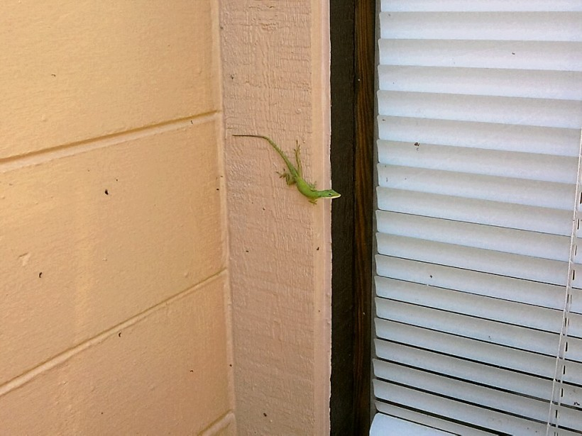 lizard on house-green