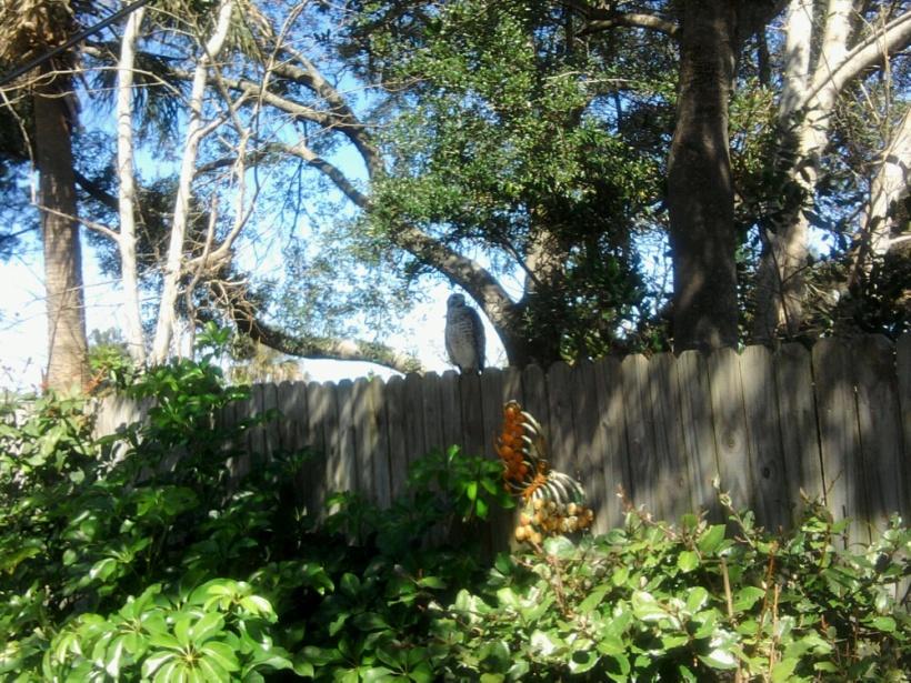 hawk-on fence-2-18-16-2