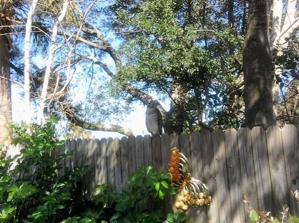 hawk on fence-2-18-16